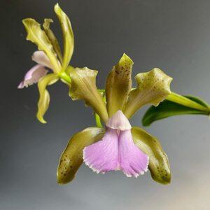 bicolor coerulea Dos Pinhos